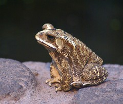 Posing toad (Jaedde & Sis) Tags: bufomelanostictus asian gold toad amphibian monotone potofgold yourockwinner rocking1st potofgold2 herowinner storybookwinner challengegamewinner bigmomma ultraherowinner 15challengeswinner thumbsup pregamewinner sweep gamewinner