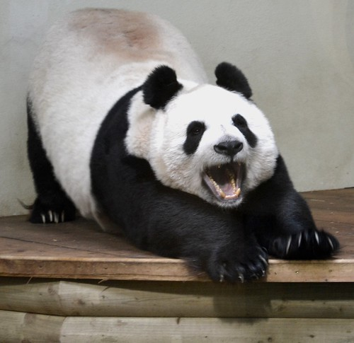 Tian Tian yawning at edinburgh zoo