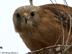 Red-shouldered Hawk - Bayou Courtableau, Louisiana (Image Hunter 1) Tags: eye nature closeup canon eos hawk beak feathers bayou swamp 7d marsh redshoulderedhawk bayoucourtableau