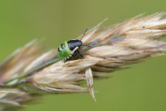 Green Shieldbug (suekelly52) Tags: green shieldbug 2ndinstar