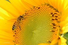 Il girasole....l'ape (Ivo Markes) Tags: ape girasoli giallo girasole flower fiori