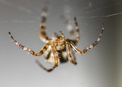 in the ceiling (Mange J) Tags: k5ii magnusjakobsson pentax sverige sweden vrmland arachno arachnofobia bokeh closeup cute fobia macro makro pretty spider spiderman spiderweb spiderwoman summer