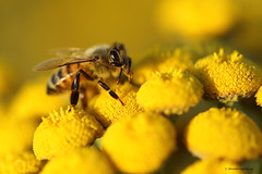 Yellow, is it me you're looking for? (shimmeringenergy) Tags: honeybee abeille commontansy tanaisievulgaire tanacetumvulgare apismellifera brunswickpoint delta
