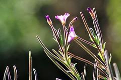 Contre-jour (dlanor smada) Tags: nature contrejour purple flowers backlit