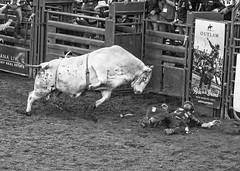 Helpless (Patty Bauchman) Tags: professionalbullriders pbr bigskypbr bigskymt rodeo bulls cowboys bullfighters