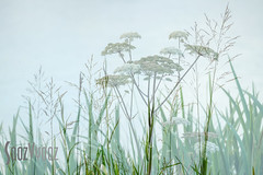 Water Margin (Sue_Hutton) Tags: august2016 loughborough nanpantanreservoir incameramultiexposure marginalwaterplant summer waterbody