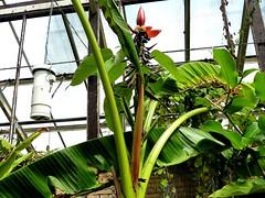 Musa beccarii 2 (heinvanwinkel) Tags: 2011 bloemvandedag commelinids euphyllophyta hortus juni leiden liliopsida magnoliophyta mesangiospermae musabeccari musaceae nederland petrosaviidae spermatophyta tracheophyta zingiberales