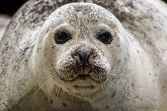 Seehund (gosammy1971) Tags: raubtiere carnivora robben pinnipedia echte hundsrobben phoca seehund natur animal tier harbor seal madelene