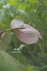 Coloured 2 (SH.master) Tags: leaves leaf garden green nature macro closeup dof stilllife pattern pink three 3