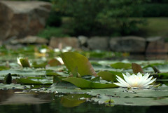 Japanese water lily (Vucko234) Tags: water lily garden outdoor