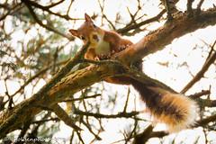Mutual Curiosity (bob golden) Tags: clara ireland latesummer naturereserve outdoors vale wicklow woods squirrel red mutualcuriosity mammal wildlife