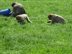 Trentham Monkey Forest (louisejaynemunton) Tags: trenthammonkeyforest takenin2016 monkey barbarymacaque england staffordshire