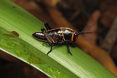 Orthoptera sp. (Grasshopper) - Costa Rica , (Nick Dean1) Tags: orthoptera grasshopper katydid animalia arthropoda arthropod hexapoda hexapod insect insecta costarica lakearenal guanacaste