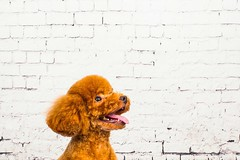 MATCHA LOW-23 (Michiez Chua Petography) Tags: poodle toypoodle singaporedog singapore redpoodle cute dog dogs canon 35mm studio studioshoot dogshoot
