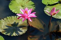 DP1U4100 (c0466art) Tags: 2016 summer season lotus field  wate rlilies cloom colorful flowers scenery landscape canon 1dx c0466art