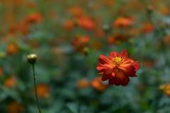 DSC02149 (Zengame) Tags: hamarikyu hamarikyugardens rx rx1 rx1r rx1rm2 rx1rmark2 sony zeiss cc cosmos creativecommons flower japan tokyo           jp