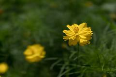 DSC02157 (Zengame) Tags: hamarikyu hamarikyugardens rx rx1 rx1r rx1rm2 rx1rmark2 sony zeiss cc cosmos creativecommons flower japan tokyo           jp