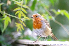 Back In The Red...... (law_keven) Tags: robin robinredbreast catford london england