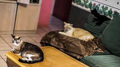Cat Day Afternoon (photocat001) Tags: catdayafternoon dogdayafternoon sleepy cats resting cute