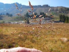 Deschampsia cespitosa (Matt Lavin) Tags: alaskabasin tetonrange alpine subalpine wyoming native perennial deschampsiacespitosa tuftedhairgrass bunchgrass aveneae poaceae coolseason