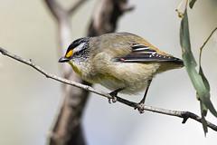Striated Pardalote 2016-08-14 (60D_2806) (ajhaysom) Tags: striatedpardalote pardalotusstriatus woodlandshistoricpark greenvale melbourne australia australianbirds canoneos60d sigma150600