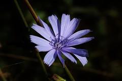Wild Flower (Hugo von Schreck) Tags: hugovonschreck wildflower wildblume flower blte blume outdoor canoneos5dsr tamronsp90mmf28divcusdmacro11f017 gemeinewegwarte cichoriumintybus