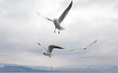 Seagull 11 (orientalizing) Tags: adalar birds blackheadedgull desktop featured feedingfrenzy feedingthebirds gulls istanbul princesislands seagulls simit turkey
