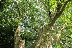 Majestueux noyer (gipsiamosse) Tags: tree walnut