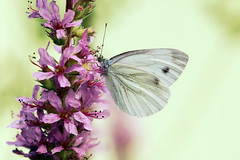Cabbage white (Pieris rapae) (P i n u s) Tags: pinus macro butterfly cabbagewhite pierisrapae kohlweissling insect