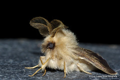 Oiketicoides febretta (flight69) Tags: luislopessilvafotografia algarve macro pentax nature insect wildlife moth psychidae oiketicoidesfebretta