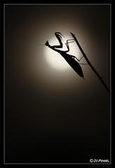 Mantis religiosa 03 (jo.pensel) Tags: bretagne breizh brittany biodiversit finistre france faunedebretagne nature naturebretagne photographebretagne photobretagne imagenature jopensel jocelynpensel jopenselcom jocelynpenselphotographe pensel macrophotographie macro proxyphotographie sigma105mmmacro mantes mantis mantisreligiosa mante religieuse insecte bugg enthomologie