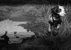 Am I am Springer yet ? (TrevKerr) Tags: dog pup puppy springer springerspaniel d7000 nikon monochrome blackandwhite