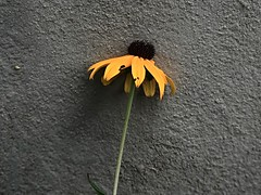 1 Against a Wall (Rilke's Poem Below) (Mertonian) Tags: cement concrete flower blossom sunflower acedia blues blue gray grey mertonian forsophia canon powershot g7x mark ii canonpowershotg7xmarkii yellow brown texture melancholy reality lunchwalk wall walking waiting