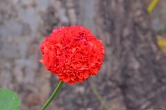 DSC_0011 (latifalaamri) Tags: flower nature garden chaouen morocco