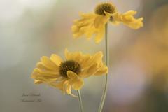 Helenium canaria (Jane Dibnah Botanical Art) Tags: heleniumcanaria yellow amber summer autumn flowers floralart creativephotography macro