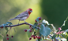 """"""" Rosy Beauty """" (ricketdi) Tags: bird cantley roselin roselinfamilier house finch housefinch haemorhousmexicanus explore25sept2016no8"""