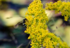 Mason Wasp(Ancistrocerus antilope) (Neil DeMaster) Tags: wasp masonwasp potterwasp insect nature wildlife