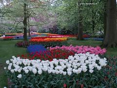 Dutch Tulips, Keukenhof Gardens, Holland - 0754 (HereIsTom) Tags: travel flowers flower holland nature netherlands dutch gardens garden spring europe colours tulips sony cybershot olympus tulip bloom keukenhof tulpen tulp webshots e500 f505