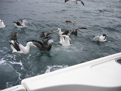 Wandering Albatross (Diomedea exulans gibsoni) (sussexbirder) Tags: albatross diomedea exulans gibsoni gibsonsalbatrossewandering