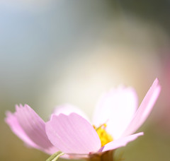 DSC_6042a (Fransois) Tags: light flower macro fleur lumire cosmos