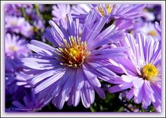 Herfstaster (ditmaliepaard) Tags: flower ngc npc bloem coth herfstaster flowerotica hennysgardens