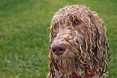 wet curls (HJK Photography) Tags: dog pet lake water swim fur curls labradoodle damp pallas