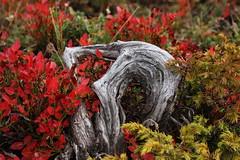 automne34 (bulbocode909) Tags: nature automne rouge bois montagnes mfcc