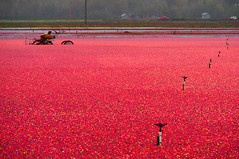Cranberry Harvest () Tags: red canada field bc farmers harvest floating richmond cranberry m43 agriculturallands em5 mirrorless microfourthirds popartfilter olympusmzuikodigitaled14150mmf4056 olympusomdem5 richmondsbiggestexport