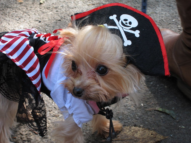 Miniature dog pirate costume