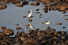 """Hey, These Rocks Are Slippery!"" (The Spirit of the World) Tags: sea nature birds sonora mexico rocks wildlife fowl puertopenasco rockypoint seaofcortez egrets thegalaxy allnaturesparadise allofnatureswildlifelevel1 flickrsfinestimages1 bestevercompetitiongroup"