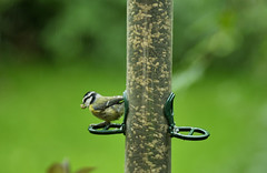Blue Tit - Mouthful (fidget65) Tags: colors birds garden feeder seeds shrubs bluetit mouthful