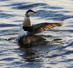 Eider Duck (gazasal) Tags: sea bird water scotland quilt feathers eider moray firth lossiemouth duch gazasal