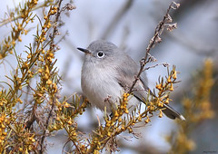 225/978 - Blue-gray Gnatcatcher, Quarry Staging Area (Jerry Ting) Tags: california fremont bluegraygnatcatcher flickrexplore coyotehillsregionalpark ebparksok quarrystagingarea