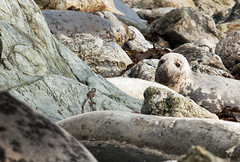 Grey Seals, 2012, Shetland (Crieffy.) Tags: grey pups seals pup shetland fitful